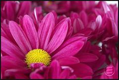 chrysanthemum (Eduardo Oliveira) Tags: flowers plants plant flower colour nature floral gardens closeup canon ilovenature flora gardening flor closeups chrysanthemum crisantemo gardem crisântemo naturefinest