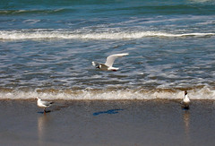 Gaviotas en la Playa (DSCN5274) (Ale_Cyn) Tags: sea bird beach mar fly sand waves seagull flight playa arena ave olas gaviota pjaro vuelo