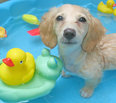 Pool pup (Doxieone) Tags: blue summer dog hot cute green english wet water pool yellow puppy toy toys duck interestingness long cream ducks rubber dachshund frog explore honey blonde frogs exploreinterestingness pup haired pup1 mostpopular coll ggg 1002 longhaired honeydog explored englishcream impressedbeauty 729821 22630828 2583293 4godeyes160907 honeyset pup2011 pupsinpoolset
