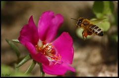 cargando el polen (Cloud_400d) Tags: flower macro verde planta animal insect fly flor rosa sigma bonita polen abeja hermosa comiendo insecto petalos ltytr2 ltytr3