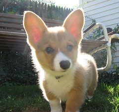 SHEFF My new grandson (cindlinz) Tags: dog chien pet cute puppy pembroke corgi pembrokewelshcorgi ears canine cutie perro doggy welsh doglover happinessconservancy