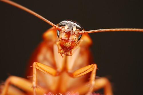 フリー画像| 節足動物| 昆虫| ゴキブリ|        フリー素材|