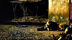 Siesta (Chau DOG) Tags: dog digital photography photo reflex los nikon foto arte photos can fotos perros areal nikkor gem todos 2010 chau giordano fotografía derechos d90 reservados 18105mm nikond90 eliteimages chaudog 2013©dario