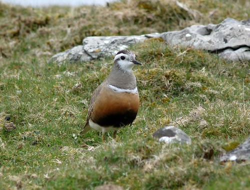 12421 - Dotterel at Cefn Cadlan