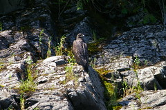 "Juvenile eagle rests on the rocks near Kilby FRS • <a style=""font-size:0.8em;"" href=""http://www.flickr.com/photos/51193137@N08/4722547632/"" target=""_blank"">View on Flickr</a>"