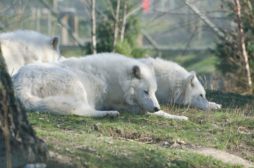 Artic Wolves Napping