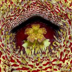 Huernia hystrix flower Corona macro (Martin_Heigan) Tags: camera flower macro nature digital southafrica succulent nikon close martin corona photograph d200 dslr annulus asclepiadaceae huernia 60mmf28micro hystrix asclepiad stapeliad nikonstunninggallery heigan anawesomeshot 2june2007 wsnbg mhsetstapeliads mhsetflowers mheiganselects