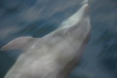 Bottleneck Dolphin