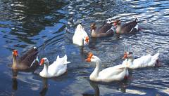 quack! (patriciaferrari) Tags: duck patos gansos