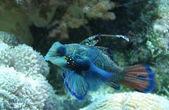 Mandarin Fish (carrie227) Tags: blue fish aquarium pointandclick pointandclickcamera barbash