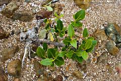 Mangrove sapling