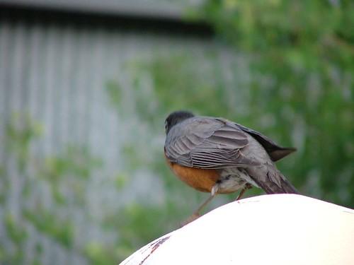 Jenny:橘肚鳥
