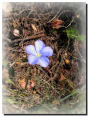 Blue flax / Lino azul - by . SantiMB .