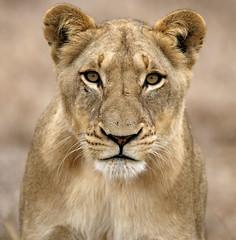 Selati Lioness (Lyndon Firman) Tags: africa canon southafrica eos bravo searchthebest lion safari 1d lioness naturesfinest malamala parkstock magicdonkey specanimal animalkingdomelite supremeanimalphoto qemdfinchadminsfavforjuly
