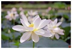 Lotus 070710 #02