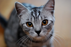 Dolly (luns_spluctrum) Tags: cat dolly britishshorthair 50mmf18af