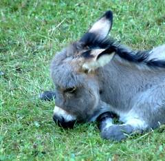 Donkey (annick777 aka elia grace) Tags: ass donkey soe ne shieldofexcellence