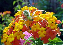 Green lynx spider on lantana - by Martin LaBar