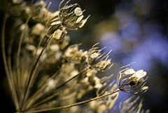 AM Light (justin.hawthorne) Tags: flowers plants bokeh seeds f2 dried justinhawthorne