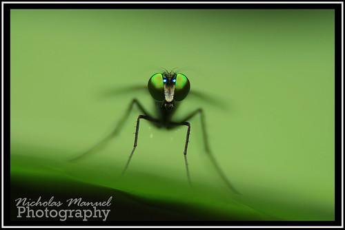 Mosquito.
