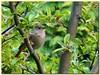 Redstart in apple tree (Vestaligo) Tags: vienna tree green bird nature garden austria europe blossom grün appletree redstart rotschwänzchen singvogel rubyphotographer sognidreams mygearandmepremium