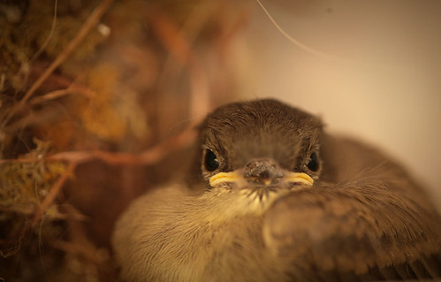 Eastern phoebe chick