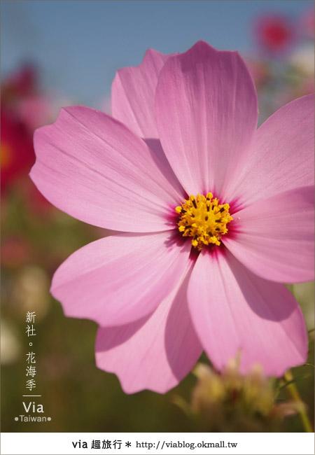 【2010新社花海】via帶大家欣賞全台最美的花海!20