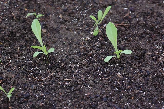 Lactuca sativa (lettuce) seedlings