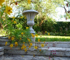 Yellow self-sown cosmos tumble over native stone wall (pawightm (Patricia)) Tags: austin texas texashillcountry centraltexas autumngarden endofoctober limestonesteps concreteurn octoberblooms pawightm limestoneledge nativestoneretainingwall nativestonestairs nativestonechair yellowandorangecosmos fss852570 weekswinnertreasuresofyouryard