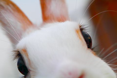 Is that a yummy carrot I see in your lens? (♥ Spice (^_^) 浦辻 クレザリン ネロナ) Tags: pet white color macro rabbit bunny animal japan closeup female canon reflections fur geotagged nose eos interesting eyes october kitten asia colours eyelashes small ears blogger doe whiskers extremecloseup 日本 kit vox usagi 動物 gettyimages 2010 facebook whiterabbit friendster multiply 写真 10月 白 目 うさぎ 兎 耳 twitter 髭 鼻 ibarakiken 茨城県 netherlanddwarfrabbit kuneho キャノン canoneos7d twitpic ペット マクロ mixbreedrabbit miniusagi カラー ウサギ バニー みにうさぎ ミニウサギ