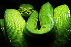 [フリー画像] [動物写真] [は虫類] [蛇/ヘビ] [ミドリニシキヘビ] [緑色/グリーン]      [フリー素材]