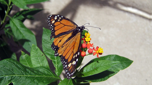 monarch feed