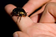 beetle tbd