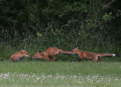 Hey, Let's Tackle Mom! (Steve Byland) Tags: nature canon fox redfox vulpesvulpes babyanimals naturesfinest newjerseyusa top20foxes