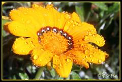 GAZANIA (Fänfän) Tags: flowers flores flower flor fänfän ltytr2