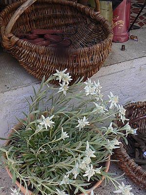 edelweiss allos.jpg