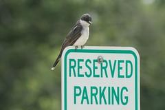Eastern Kingbird - by Birdfreak.com