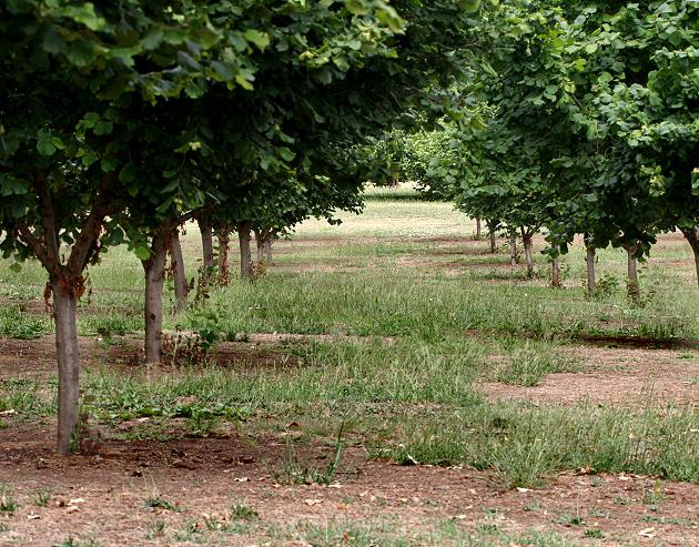 Filbert Trees