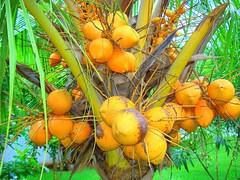 Coconuts (Arun Kumar Sinha) Tags: india tree yellow coconut kerala utata utatafeature nikonstunninggallery