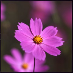 COSMOS (HASSELBLAD 500C/M) (potopoto53age) Tags: pink flowers plant flower macro 6x6 japan zeiss t kodak hasselblad extension ektachrome cosmos planar excellence kodakektachromee100g 80mm hassel carlzeiss hasselblad500cm helluva naturesfinest e100g 500x500 fantasticflowers top20flowers 3x1 flowerotica 1on1flowers lovelyphotos karmapotd karmapotw aplusphoto goldenphotographer carlzeissplanar80mmf28t superhearts flowerwatcher