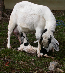 Newborn goats looking for their first meal