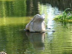 Como Frog