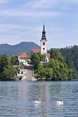 Family of swans swim past Island on Lake Bled (Shelley & Dave) Tags: lake church water birds island wildlife swans slovenia bled cygnets muteswans glaciallake pilgrimagechurchoftheassumptionofmary