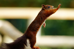 [フリー画像] 動物, 哺乳類, リス科, リス, 立っている, 201011111100