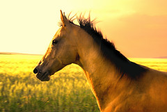 into a golden sun (Dan65) Tags: horse sun yellow gold golden run coolest canter gallop akhalteke abigfave gazan superbmasterpiece