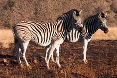 Zebra at the Umgeni Valley (Morcom Family) Tags: wild sunrise southafrica mark zebra rsa kwazulunatal kzn morcom umgenivalley aloa