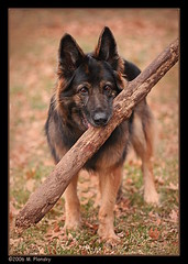 Longcoat Sable German Shepherd Bitch (mplonsky) Tags: portrait dog pet tree dogs face animal eyes action shepherd topv1111 topv999 sable canine biting german bite stick 5bestdogs germanshepherd fetch carry longcoat k9 gsd canines herding fullcoat plonsky pet1500
