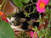 Palumita (Palumita) Tags: flower cat flor gato gat cattus felineart commentonmycuteness beautifulcapture kissablekats bestofcats impressedbeauty flickrhearts isawyoufirst kittycrown palumita flowersanimals
