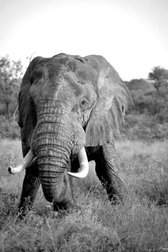 ElephantTusk2BW