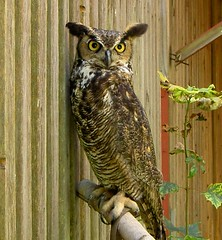 Great Horned Owl (rich66 ~~) Tags: bird nature eyes branch feathers raptor owl perch audubonsociety birdofprey greathornedowl auduboncenter talons plummage naturesfinest featheryfriday flickrsbest supremeanimalphoto ysplix sharonconnecticut